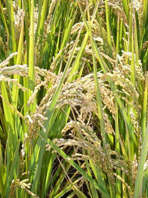 MW-rice